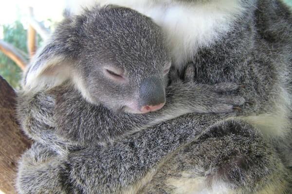 Koalos jauniklis Australija