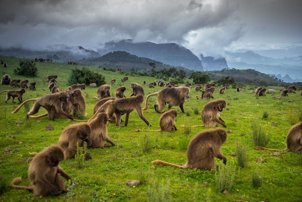 Beždžiones Etiopija